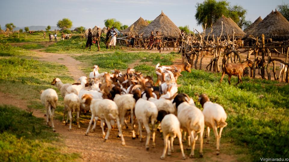 Dupa o zi la pascut, departe de sat, animalele se intorc acasa